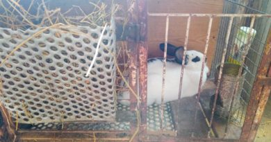 Állattartás prepperszemmel – a nyúl